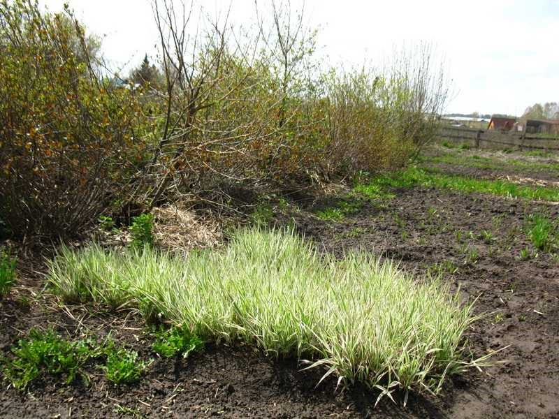 Как сажать многолетние травы